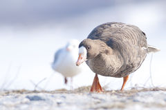 White Fronted Goose. In winter stock image