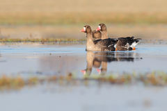 White-fronted goose. Anser albifrons. Royalty Free Stock Images