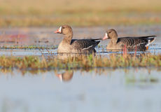 White-fronted goose. Anser albifrons. Stock Photography