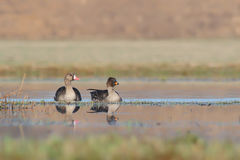 White-fronted goose. Anser albifrons. Stock Image