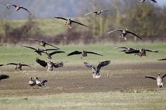 White-fronted goose, Anser albifrons, Royalty Free Stock Photography