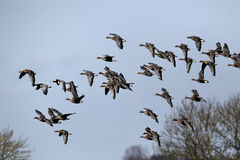 White-fronted goose, Anser albifrons, Royalty Free Stock Photos
