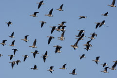 White fronted goose, Anser albifrons Stock Photo