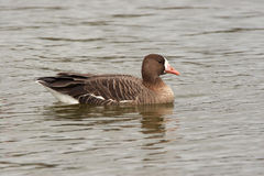 White Fronted Goose - Anser albifrons. White fronted goose on a lake stock images
