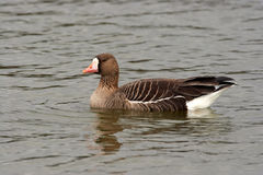 White Fronted Goose - Anser albifrons Royalty Free Stock Image