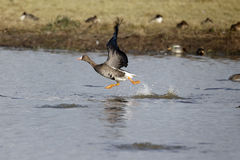 White-fronted goose, Anser albifrons Stock Image