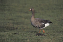 White-fronted goose,  Anser albifrons Royalty Free Stock Photography