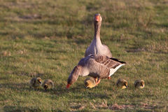 White-fronted Goose Couple With Youngsters Stock Photo