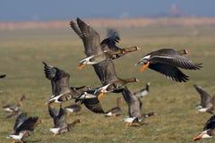 White-fronted Goose, Kolgans, Anser albifrons royalty free stock image