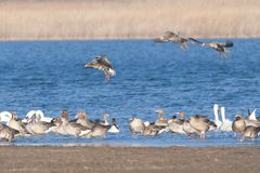 White fronted Goose. On Lake, in Winter stock image