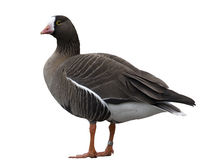 White fronted Goose Royalty Free Stock Photo