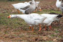 White fronted goose with teeth Stock Images