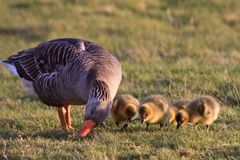 White-fronted goose with youngsters Royalty Free Stock Images
