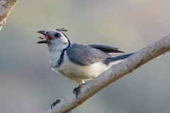 White Fronted Magpie Jay Eating Royalty Free Stock Images