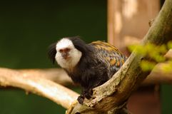 White-fronted Marmoset at Heidelberg's zoo Royalty Free Stock Photography