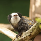 White-fronted Marmoset sitting at the tree Stock Photo