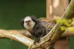 White-fronted Marmoset sitting at the tree Stock Image