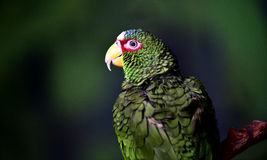 White-fronted Parrot Stock Photography