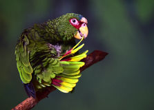 White-fronted Parrot Royalty Free Stock Photos