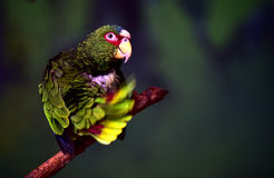 White-fronted Parrot Royalty Free Stock Photo