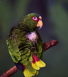 White-fronted Parrot Stock Photo