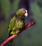 White-fronted Parrot Stock Image
