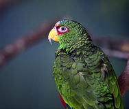 White-fronted Parrot Royalty Free Stock Images