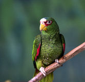 White-fronted Parrot Stock Images