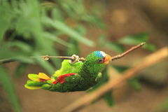 White-fronted parrot Stock Photos