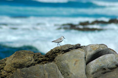 White-fronted Plover bird Royalty Free Stock Photo