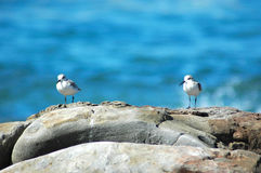 White-fronted plover birds Royalty Free Stock Photography