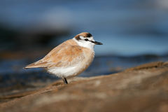White-fronted plover Stock Images