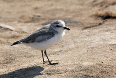 White Fronted Plover - Namibia Royalty Free Stock Image