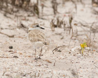 White-fronted Plover Royalty Free Stock Photos