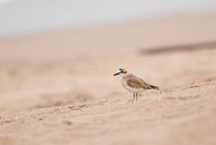 White-fronted Plover Royalty Free Stock Images