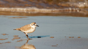 White fronted plover Stock Photos