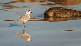 White fronted plover Stock Photography