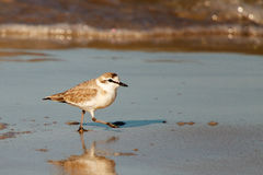 White fronted plover Stock Photo