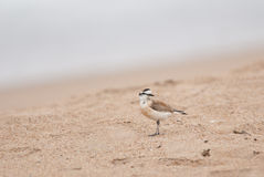 White-fronted Sand Plover Stock Images