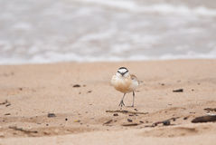 White-fronted Sand Plover Royalty Free Stock Image