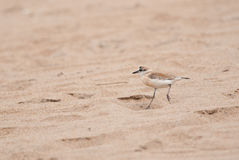 White-fronted Sandplover Royalty Free Stock Photography