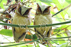 White-fronted Scops Owl Otus sagittatus Stock Images