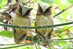 White-fronted Scops Owl Otus sagittatus Stock Images