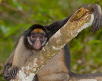 White-fronted Spider Monkey Royalty Free Stock Photo