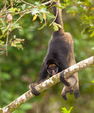 White-fronted Spider Monkey on tree. A White-fronted Spider Monkey (Ateles belzebuth) uses it prehensile tail to hang upside down from a branch Stock Images
