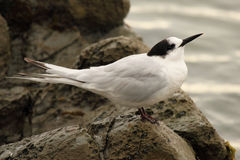 White-fronted Tern Pointing. A White-fronted Tern pointing with its beak Stock Images