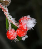 White frost on barberry fruit Royalty Free Stock Photography
