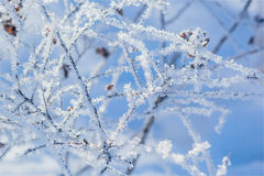 White frost on the branches of spirea Royalty Free Stock Photography