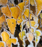 White frost on leaves Stock Photos