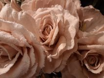 White frost on pink roses in a bouquet. Pink roses covered with white frost stock photography